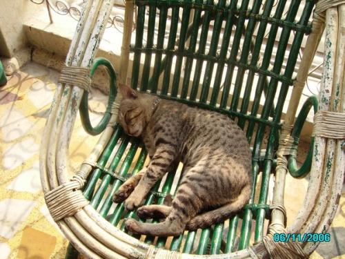 Делийский кот - домашний... вернее, отельный