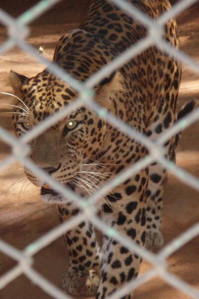 Та еще кошечка... Зоопарк в Майсуре