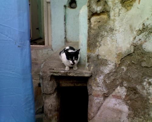 джамнагарская кошка