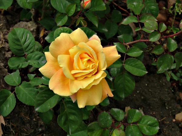 Розы в апреле..