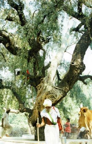 Садху под странным деревом