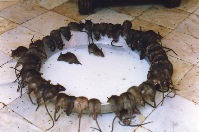 Крысы в храме Карни Мата