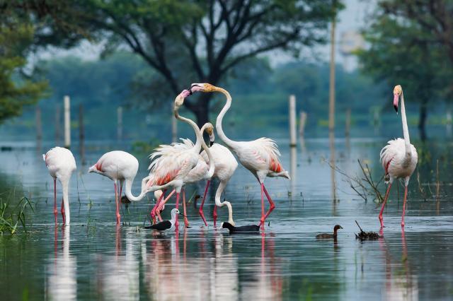 Фламинго в парке Кеоладео Гхана