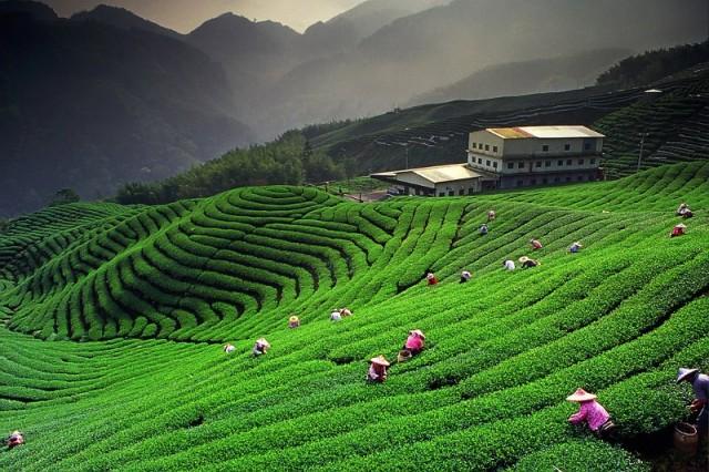 Чайная плантация в Каусани