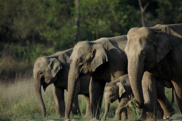 Дикие слоны в Национальном парке Раджаджи