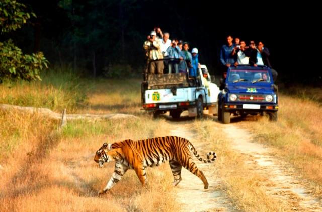 Бенгальский тигр в Тигрином заповеднике Корбетта