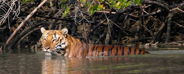 Бенгальский тигр в Сундербансе