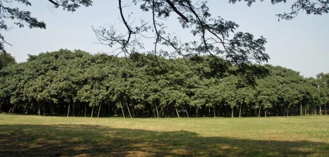 Баньян в Калькуттском ботаническом саде