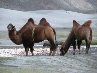 Верблюды в дюнах между Хундером и Дискитом