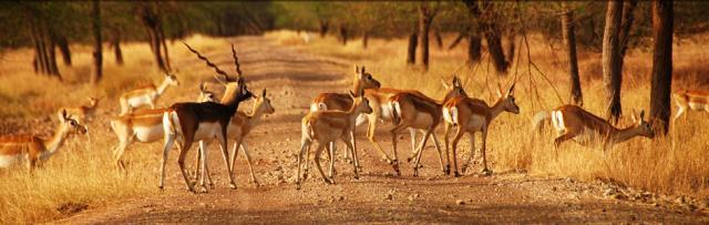 Винторогая антилопа в парке