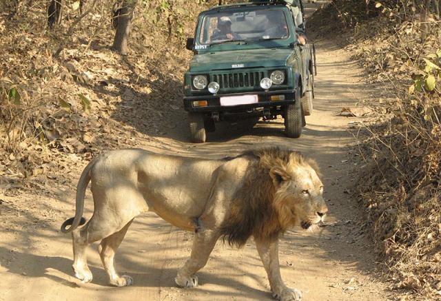 Азиатский лев в парке
