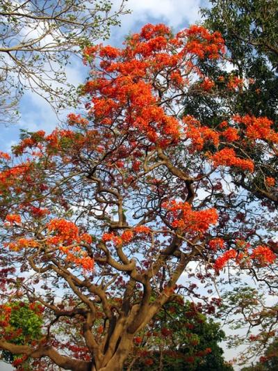 Дерево в Манду