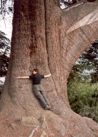Гигантское дерево в Гималаях