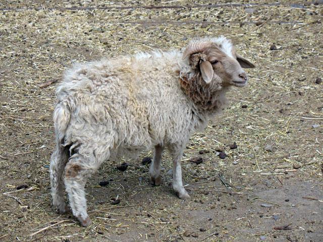А эта овечка ростом с болонку
