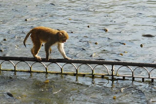 обезьяна и рыбы
