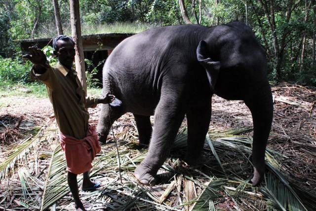 5-ти летний слонёнок танцует за бананы)