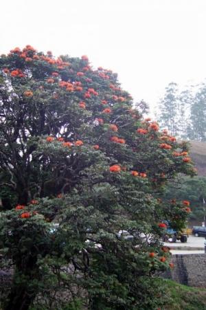 Тюльпанное дерево - красота необыкновенная