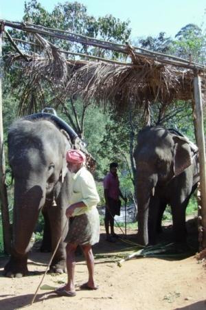 В Муннаре тоже можно на слоне покататься