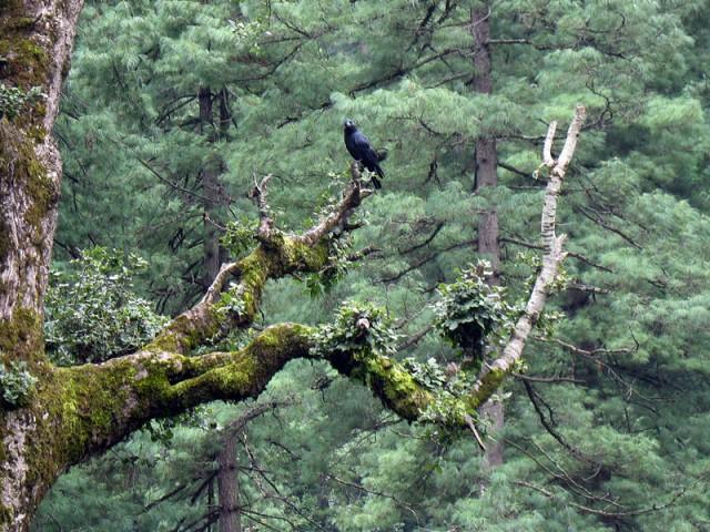 Гималайская ворона