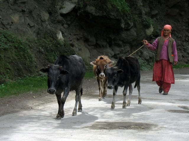 Гималайская бабушка с питомцами