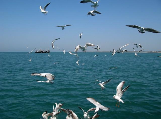 Гуджаратские чайки