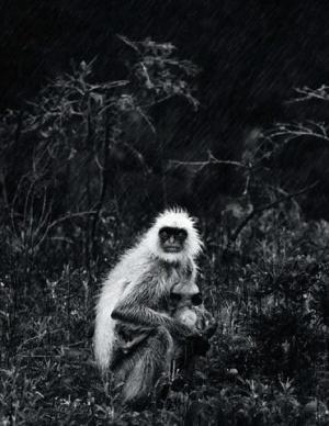 Самка серого лангура кормит своего малыша, защищая его голову от дождя лапами и пытаясь согреть дрожащего детеныша.