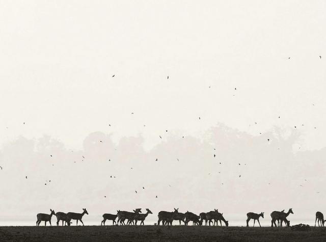 Небольшую группу барасингов сопровождают щурки, охотно поедающие потревоженных оленями насекомых.