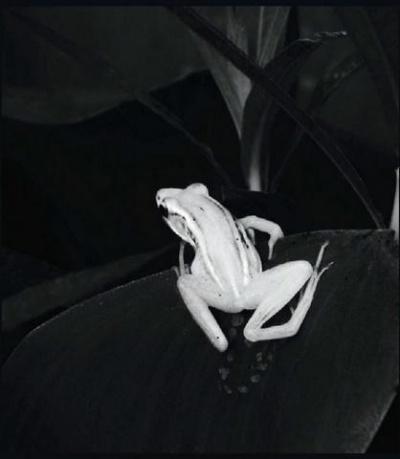 Травяная лягушка, обитающая в болотистой местности в Санкхарипота, недалеко от Колкаты.