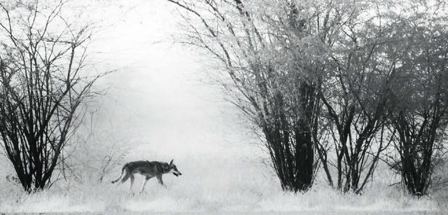 Индийский серый волк.