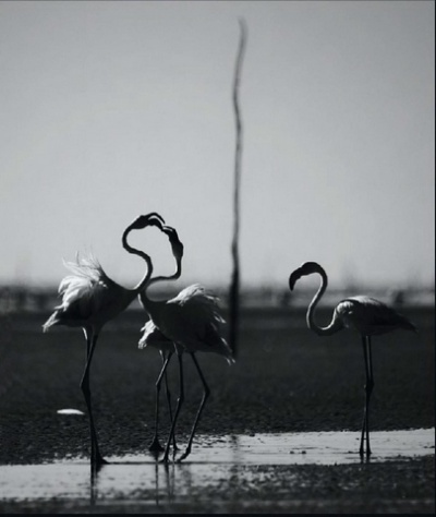 Фламинго обыкновенный.