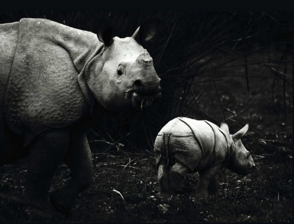Индийский носорог.