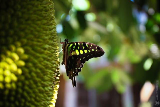 бабочка на хлебном фрукте