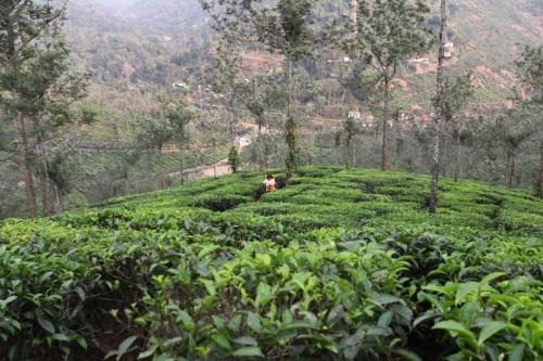 На чайных плантациях