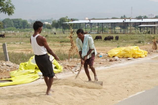 Пересыпают рис. Он вдоль всей дороги к австралийскому саду.