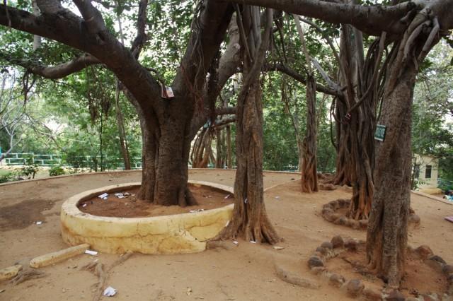 Дерево медитаций рядом с ашрамом.
