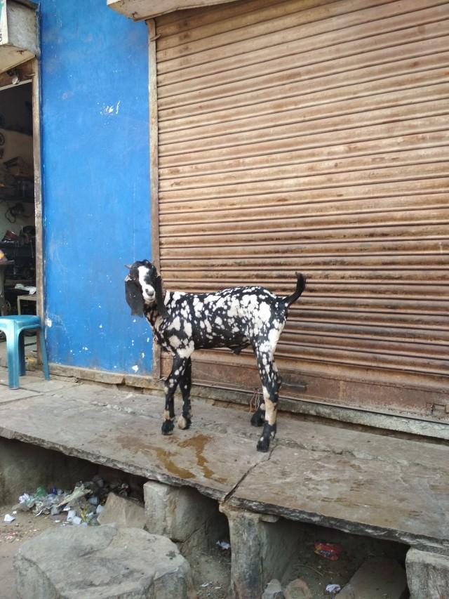 коза-далматинец в Джайпуре