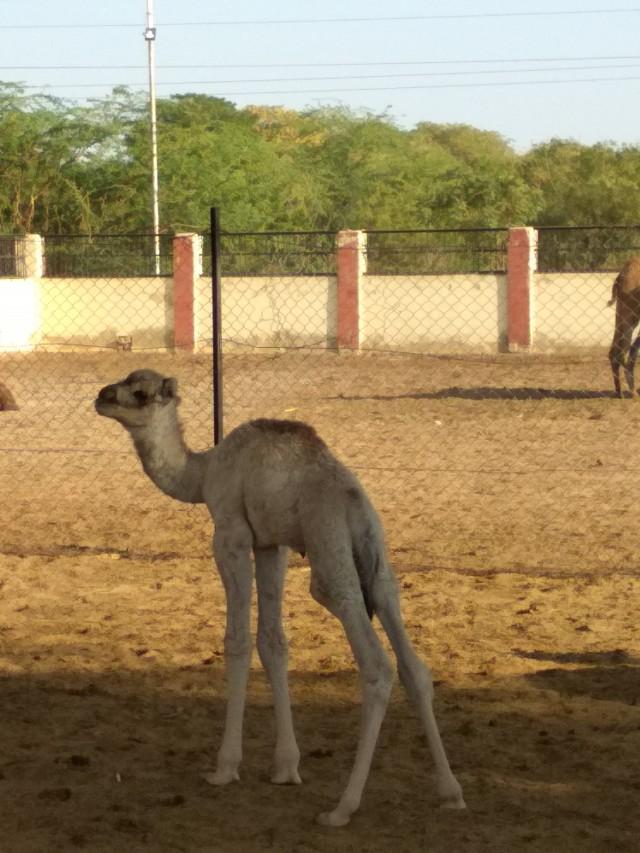 верблюжонок в Биканере