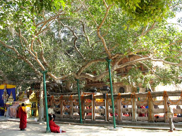 Бодхгайя: Дерево Бо