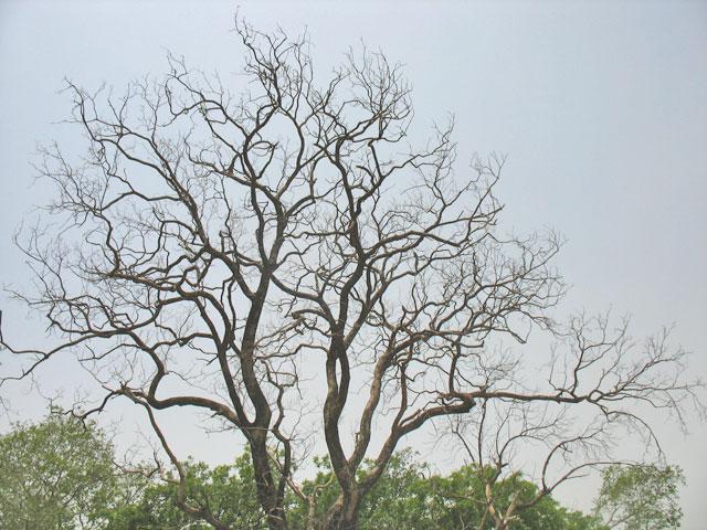 Вриндаванское дерево