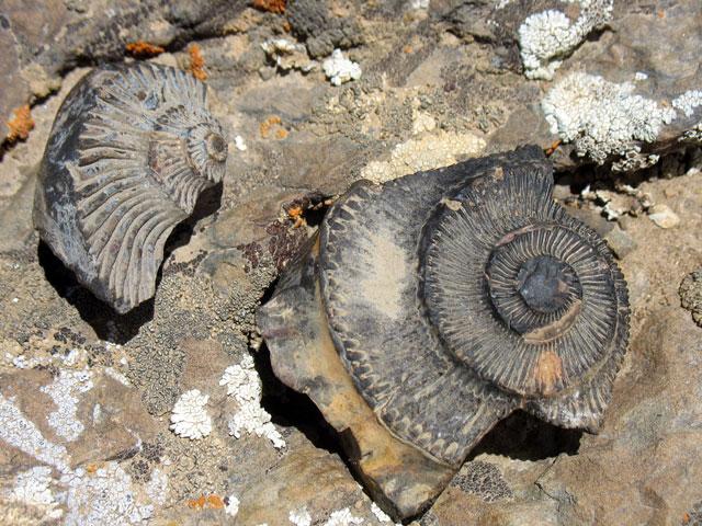 Красивые штучки крупным планом - окаменевшие доисторические раковины