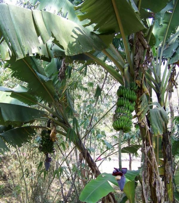 цветущие и плодоносящие бананики - прелесть