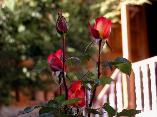 розы в Марфе.