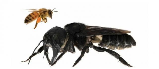 Пчела Уоллеса в сравнении с обычной пчелой