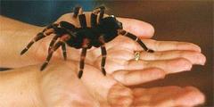 Блюдо из тарантула - дешево и сердито